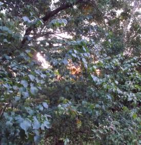 Sunset light through the beech trees