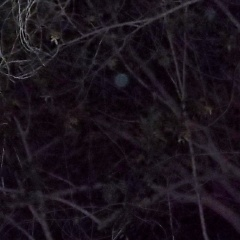 'Bluebird' Orb among the branches Jan 27th, 2014