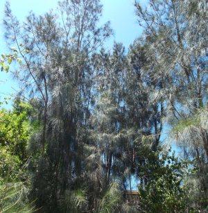 She-Oaks overlooking the Beech grove