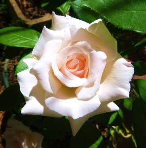 'Mother's Love' in full bloom