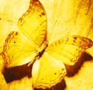 golden-butterfly
