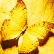 golden-butterfly