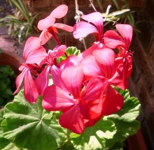 Watermelon pink Geranium
