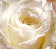 white-rose1 - Copy