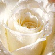 white-rose1 - Copy