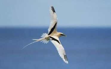 Silver Bosun Bird, Christmas Island. Photographer: T.Palliser