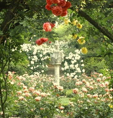 english-rose-garden-wallpaper-zhtpakiw - Copy (2)
