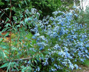 Blue plumbago and bluegum.