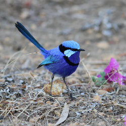 Splendid Fairy Blue Wren, mature male. Photographer  unknown but appreciated.