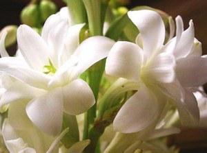 tuberose_double_flower_form_3_clumps