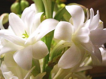 tuberose_double_flower_form_3_clumps
