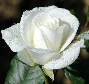 white-rosep