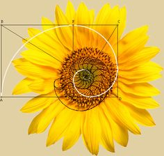 The pattern of seeds in a sunflower expresses the golden ratio.