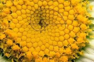 The centre of a daisy expressing the golden ratio.