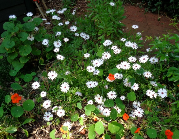 White daisies with a few orange nasturtiums.