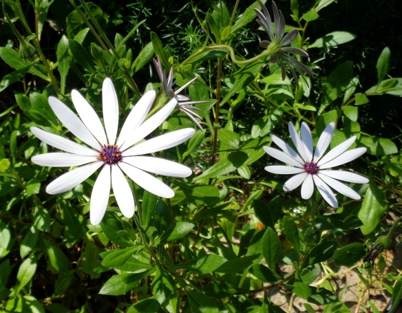 These daisies have 13 petals, number of the Divine Feminine/Mother energy.