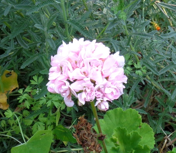 Apple blossom geranium, delicate pink-white...