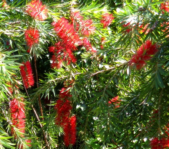 ...changing form in native Bottlebrush...