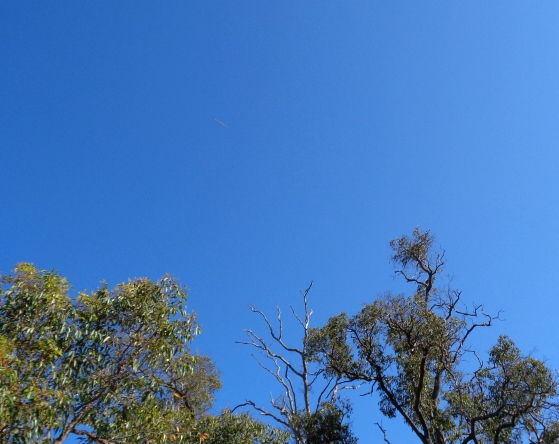 Lightship uncloaks briefly just above and left of a Butcherbird in a bare tree, Oct. 21, 2015.