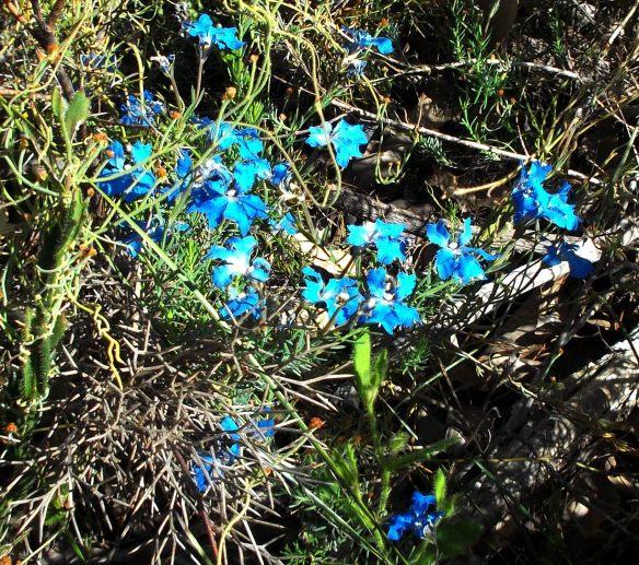 Sky blue leschenaultia...