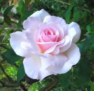 From the garden: 'Arnap's Rose', white with a pink heart, the light of loyalty, love, fidelity to Source.