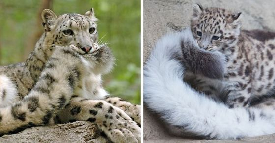 snow-leopards-biting-tail-funny-cats-fb-1__700-png.jpg?w=560&h=294