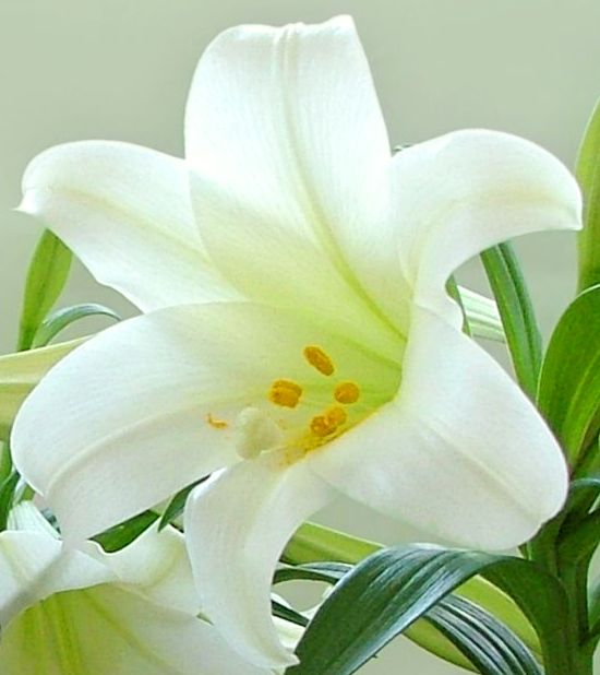 white-lily-flower-11