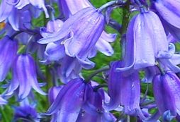 bluebell-flowers - Copy