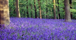 bluebell-wood-web