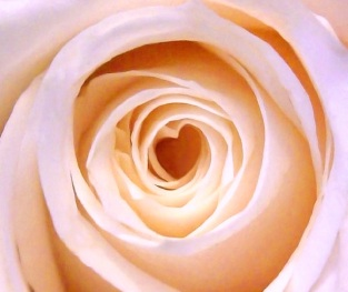 heart centred rose